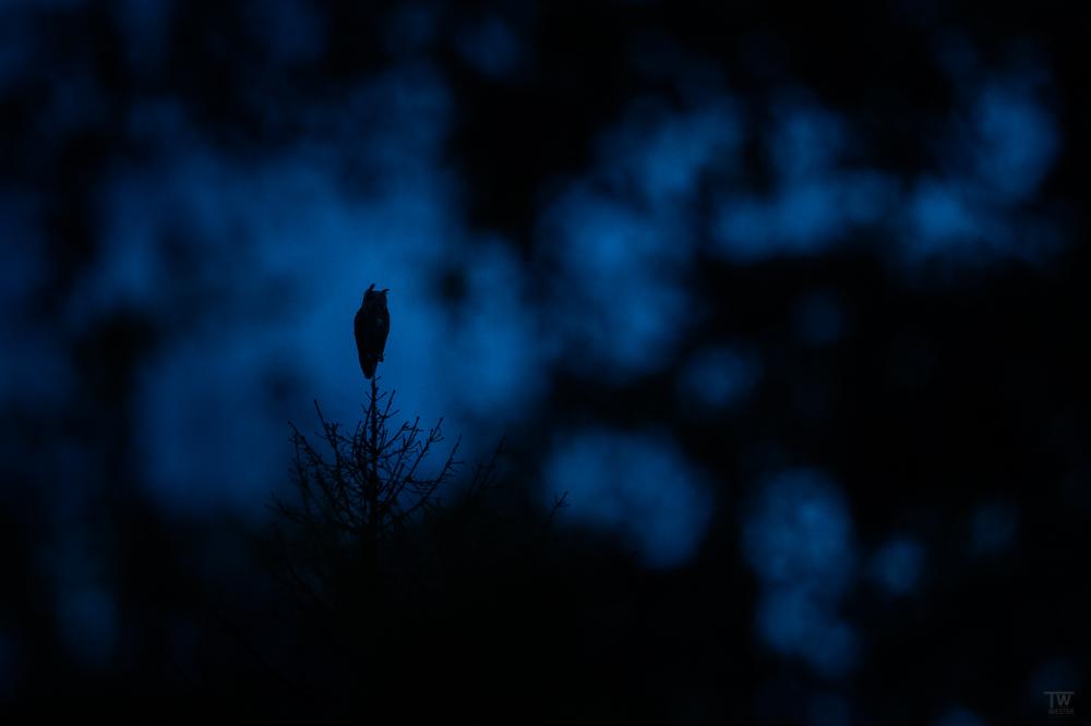 Dieser Baumwipfel lag sehr hoch und gab dem Uhu einen sehr guten Überblick, für Nichtfotografen: solche Szene sind durch das Blattwerk eines Baums fotografiert (B2717)