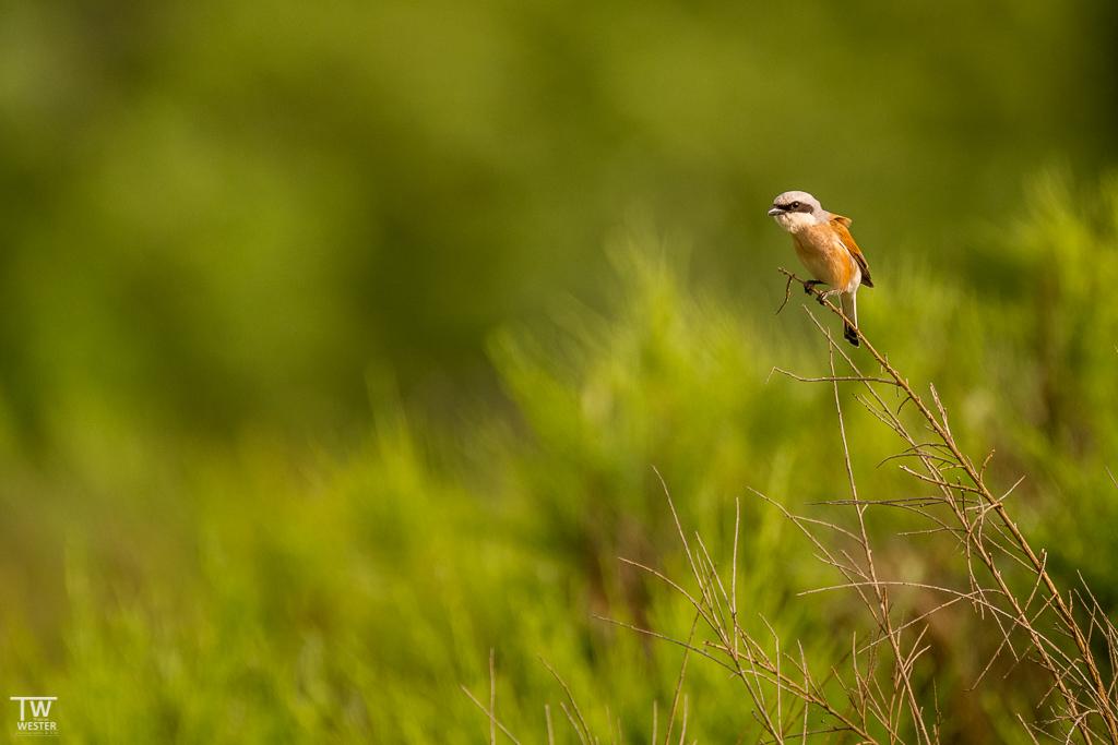 Ein Neuntöter in der Wahner Heide (B1345)