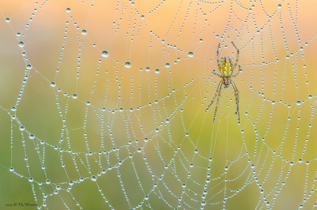 Hier musste ich meine Spinnenphobie beiseite schieben, denn Tautropfen habe ich selten in dieser Ausprägung gesehen... (B360)