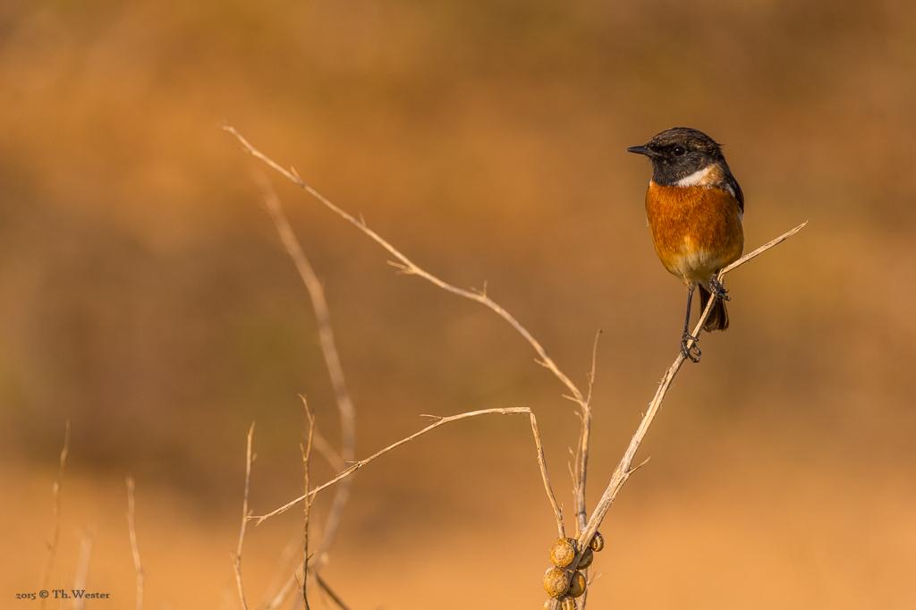 """Die Schwarzkehlchen waren überall sehr aktiv: die Algarve bietet auch große Vogelschutzgebiete. Einmal packte ich daher auch das """"große Tele"""" aus (B393)"""