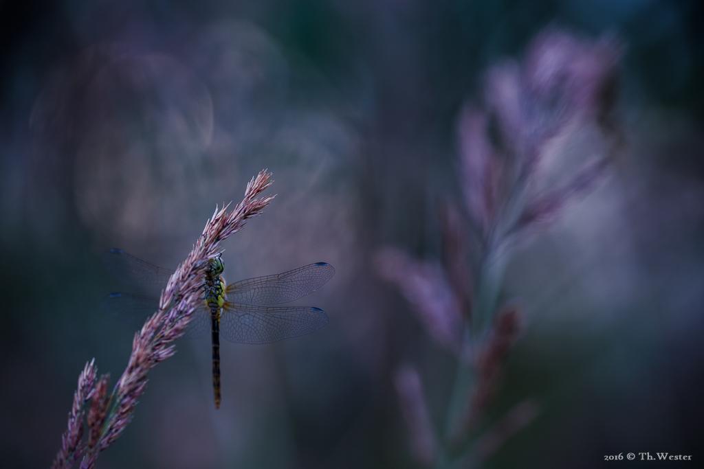 """Dass Libellen so exponiert sitzen wie an diesem späten Abend ist leider nicht der Regelfall. Auf der Trockenwiese saßen sie meist """"versteckt"""" in der dichten Graslandschaft (B647)"""