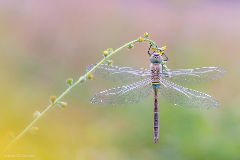 """Dieses Bild, frisch vom Sonntagmorgen, zeigt das junge Weibchen der """"kleinen Königslibelle"""" (B631)"""