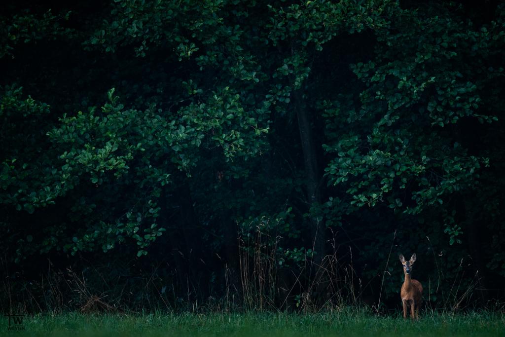 Mit dem ersten Bild möchte ich einen Eindruck über den typischen Lebensraum der Rehe vermitteln: ganz nah am dunklen Waldrand… (B1367)