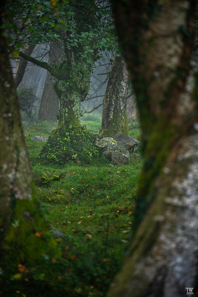 Die Wälder des Pico de Europa sind riesig und in vielen Teilen sehr naturbelassen; durch sie streifen regelmäßig nicht nur Wölfe und Luxe, sondern auch Braunbären (B1796)