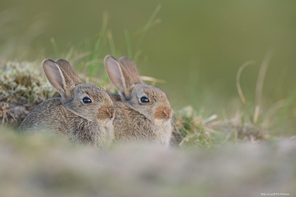 An einem Kaninchenbau konnte ich sehr junge Kaninchen beobachten, was ein tolles Erlebnis war (B183)