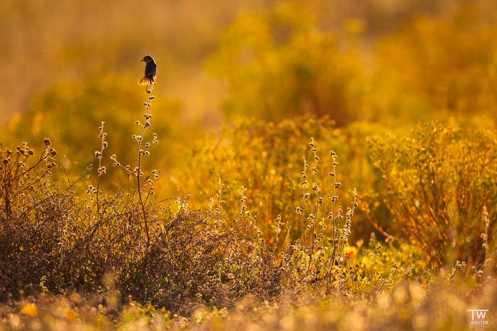 Die Landschaft war im Mai noch mit schönen Pflanzen bewachsen, die im Gegenlicht wirklich schön aussahen… hier mit Schwarzkehlchen (B1663)