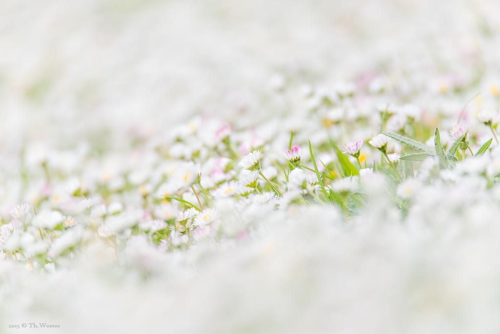 Gänseblümchen im Überfluss (B317)