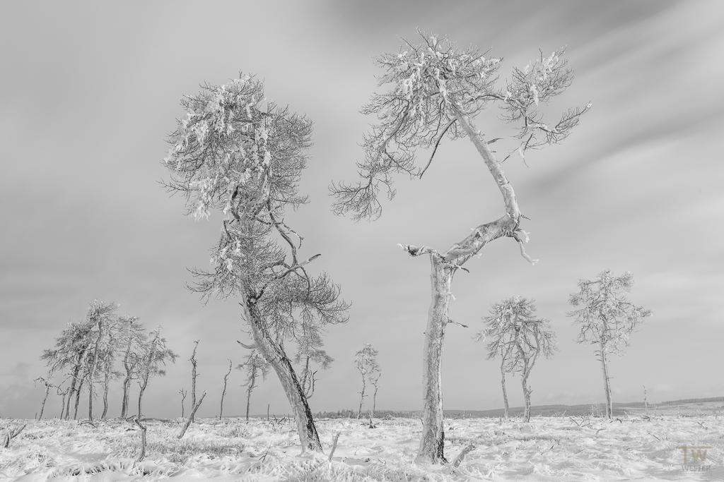An diesem Tag in Belgien waren die Baumstämme rundum mit Eis bedeckt (B965)
