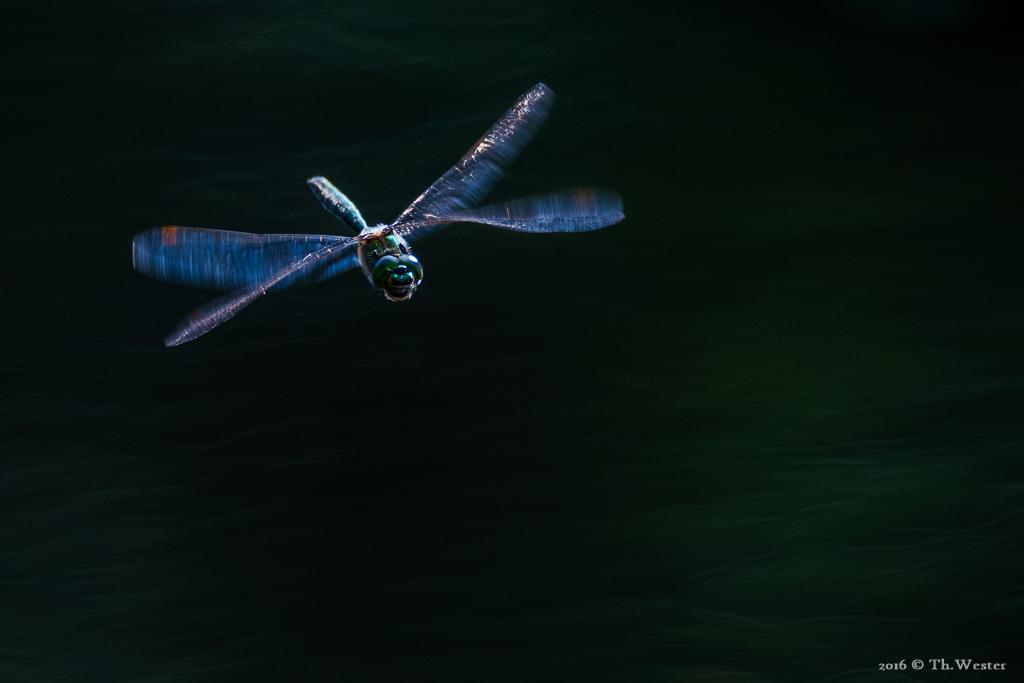 """Flugaufnahme einer """"glänzenden Smaragdlibelle"""": besonders faszinierend fand ich die Reflektion des blauen Himmels in den Flügeln (B632)"""