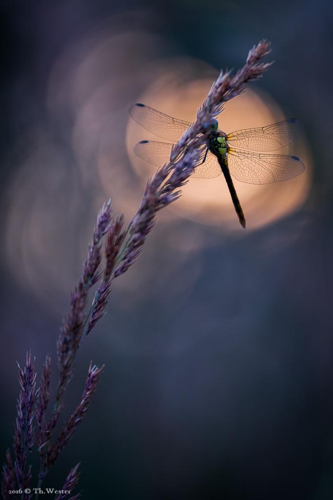 Und zu guter Letzt eine Gegenlichtaufnahme einer Heidelibelle: im Hintergrund funkelt die sich spiegelnde Sonne auf der Wasseroberfläche eines Weihers (B630)