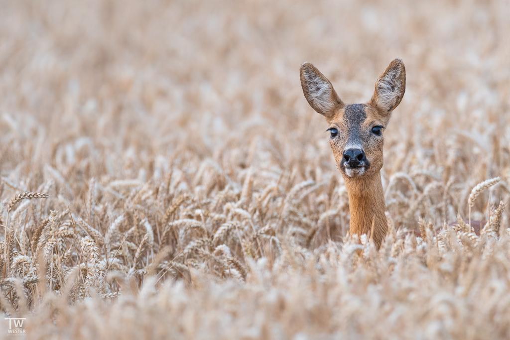 …und hier im Weizenfeld am Waldrand (B1364)