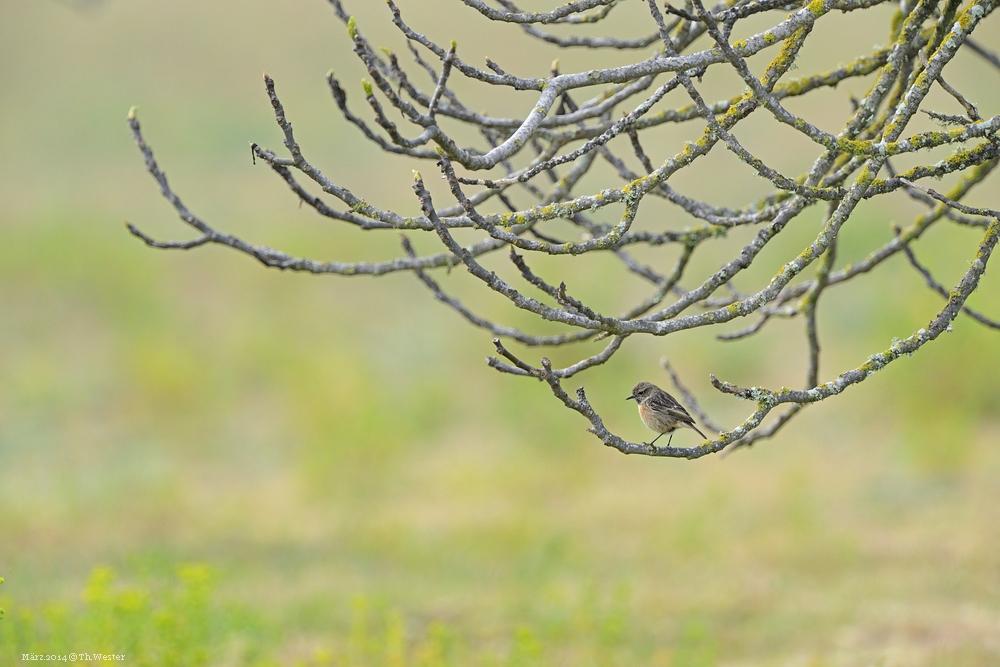 Filigraner Ansitz für einen schweren Raubvogel ;-) (B97)