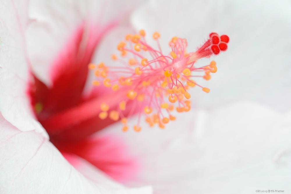 Hibiscus, gesehen auf Mallorca (B79)