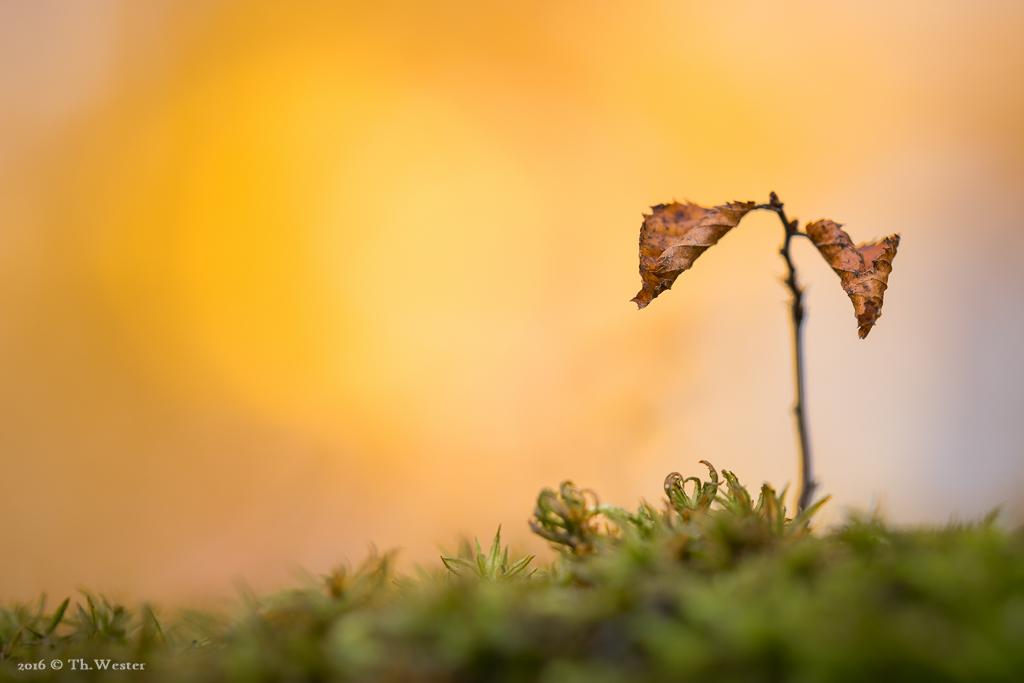 Selbst die noch ganz kleinen Bäume tragen Herbstblätter: zwei zumindest (B818)