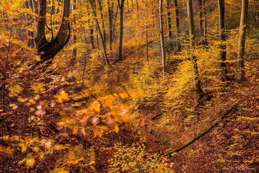 Im Siebengebirge war es selbst tief in den Buchenwäldern windig (B822)