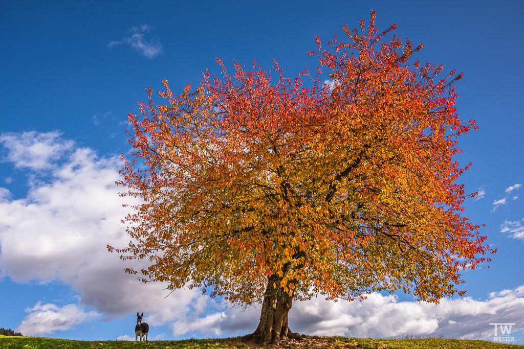 """Zugegeben, das Bild hat mit seriöser Naturfotografie nichts zu tun ;-) Eigentlich wollte ich tagsüber nur diesen Baum """"spotten"""" und schauen, ob die Perspektive interessant sein könnte – da schlich plötzlich dieser Kollege über die Kuppe (B1119)"""
