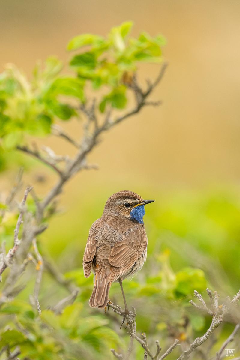 Immer wieder flog es herab in die Büsche, wo es häufig zu singen begann und flog dann wieder auf die höher gelegenen Ansitzäste (B2085)