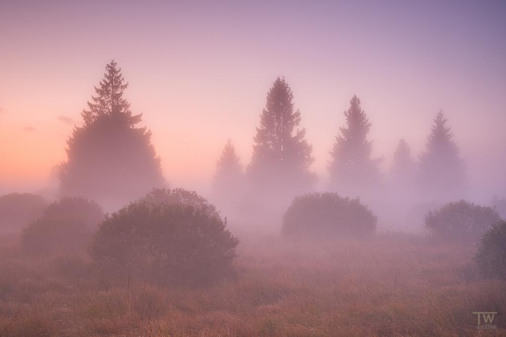 Tannen im Nebel (B1196)