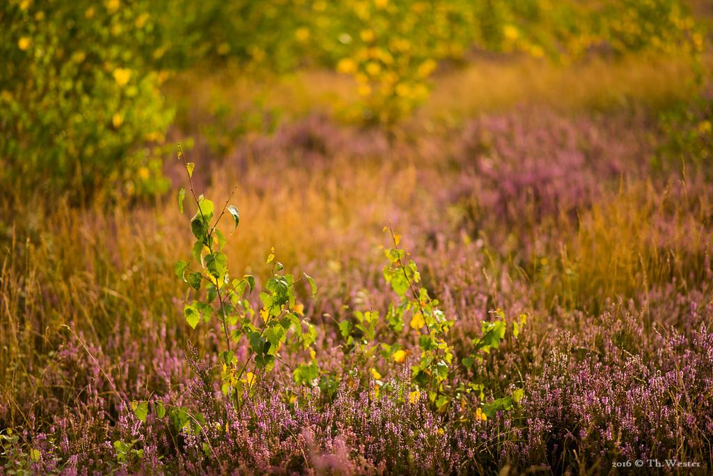 Die ersten Herbstfarben in der Drover Heide (B662)