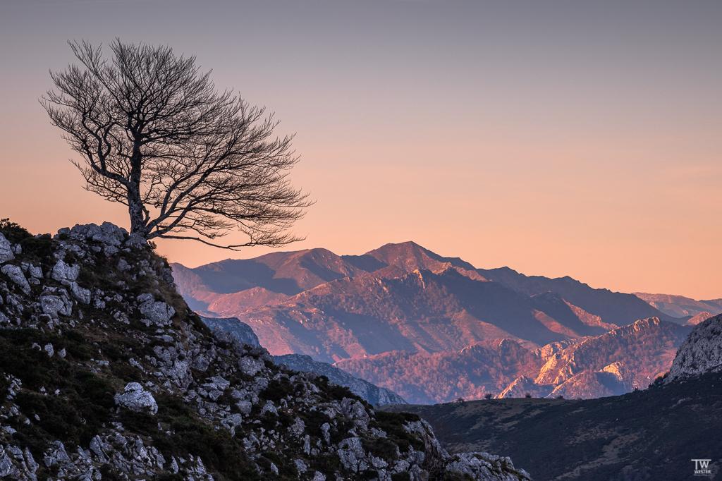 Die Bäume des Pico stehen häufig an exponierten Stellen und sind sehr fotogen (B1896)