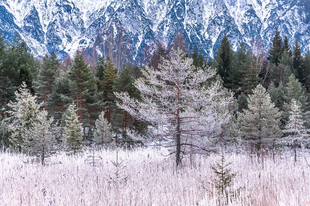 Am Ufer des Luttensees war der Schilfgürtel komplett gefroren (B1576)