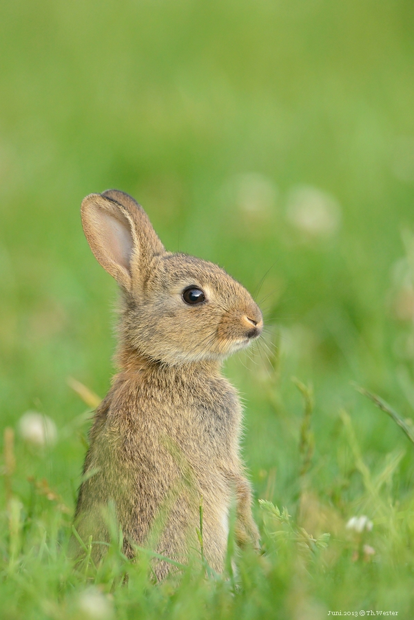 Junges Kaninchen (B50)