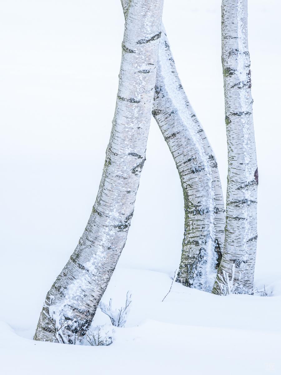 Birkenstämme im Schnee sind wundervoll anzuschauen (B2393)
