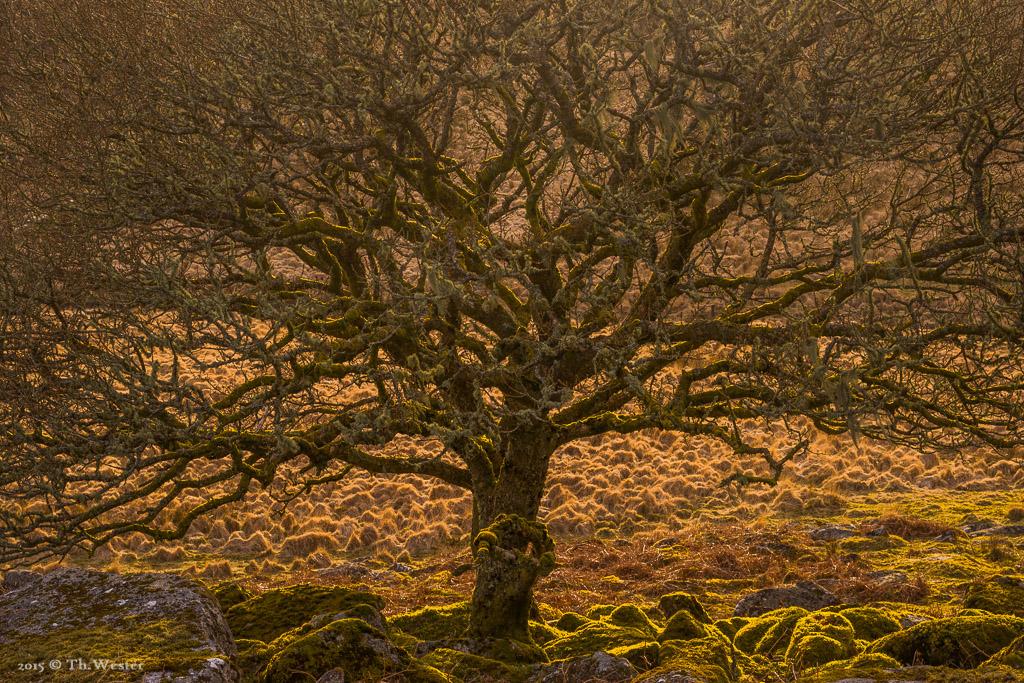 """In vielen Teilen des """"Dartmoors"""" sind die Bäume extrem dicht mit Flechten und Moosen bewachsen, das sieht faszierend aus (B508)"""