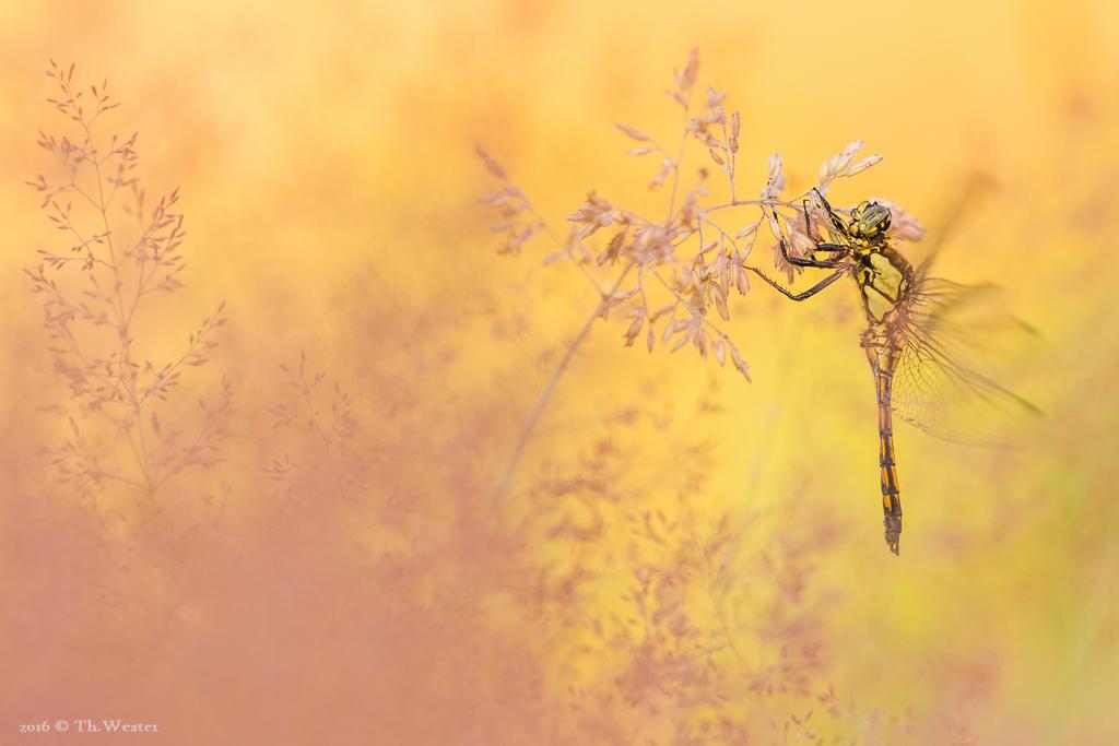 Dieses Bild produzierte ich mit extrem viel Ausschuss, da die Libelle halb im Flug war und immer wieder auf und ab wippte... wenigstens 2 bis 3 Bilder aus der Serie wurden schließlich scharf (B645)