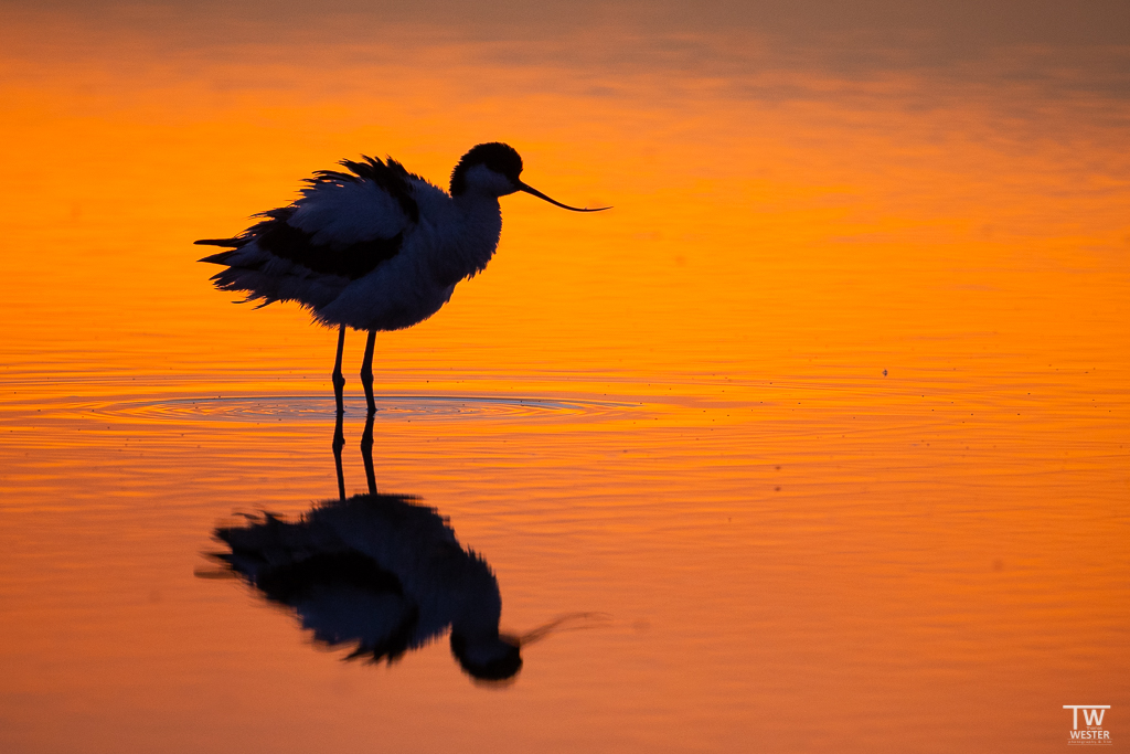 Ein Säbelschnäbler kurz nach Sonnenuntergang (B1655)