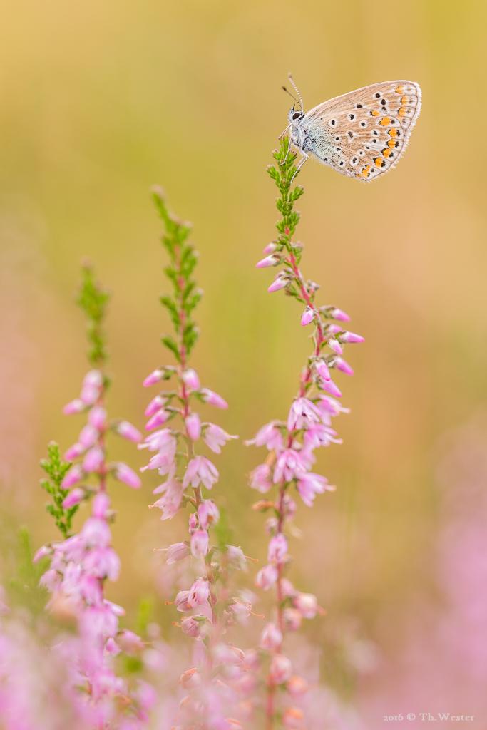 """Auch die """"Hauhechel-Bläulinge"""" wissen die Blüte der Besenheide zu schätzen (B658)"""