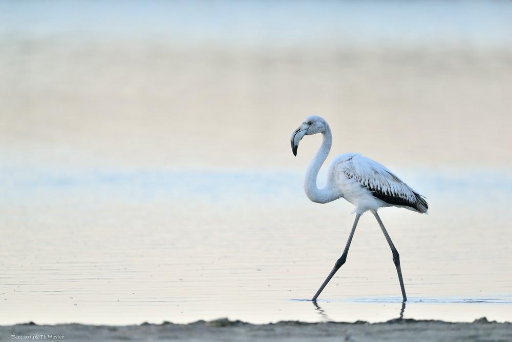 Flamingo in einem der Salzseen (B98)