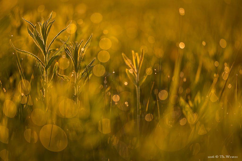 Wiese im Morgentau in der Wahner Heide (B518)