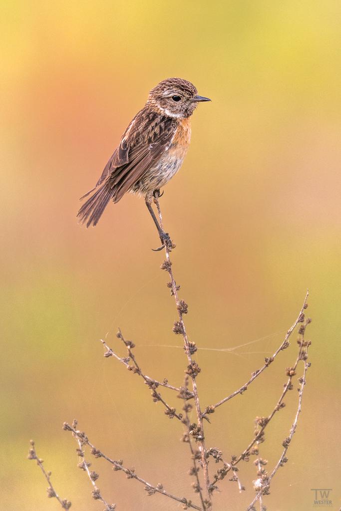 Gleich am ersten Morgen konnte ich die ersten Singvögel ablichten… (B1664)
