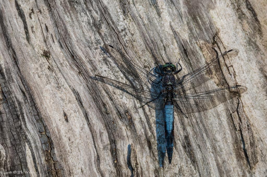 Ein männlicher Blaupfeil (B671)
