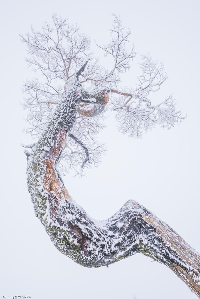 Die Form und Struktur dieses Baumes hatten es mir angetan (B260a)