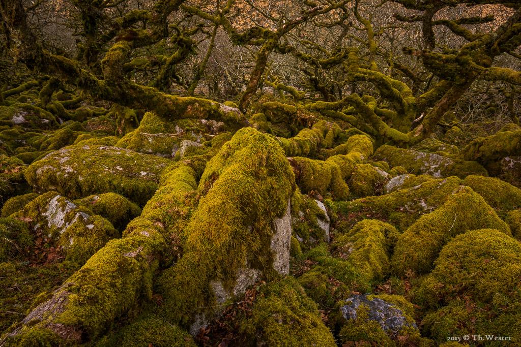 """Ein Besuch im bekannten """"Wistman`s Wood"""" durfte nicht fehlen. Weiter im Wald ist es recht schwer sich zu bewegen, man hüpft praktisch von einem moosbewachsenen Stein zum Nächsten (B507)"""