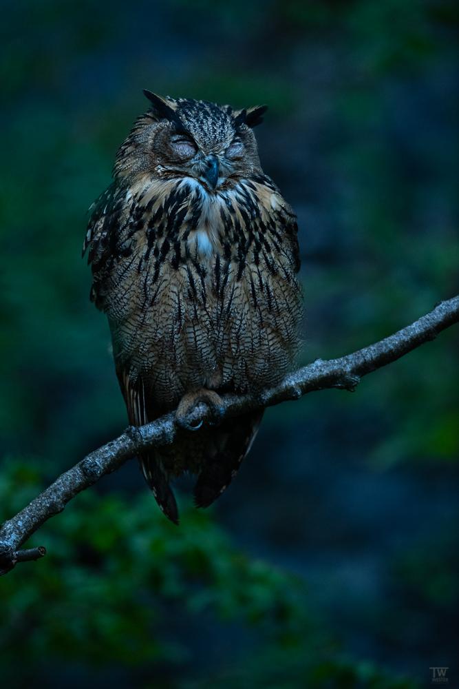 Ebenfalls noch in der Morgendämmerung schlief dieser junge Uhu nach einer aktiven Nacht ein (B2723)