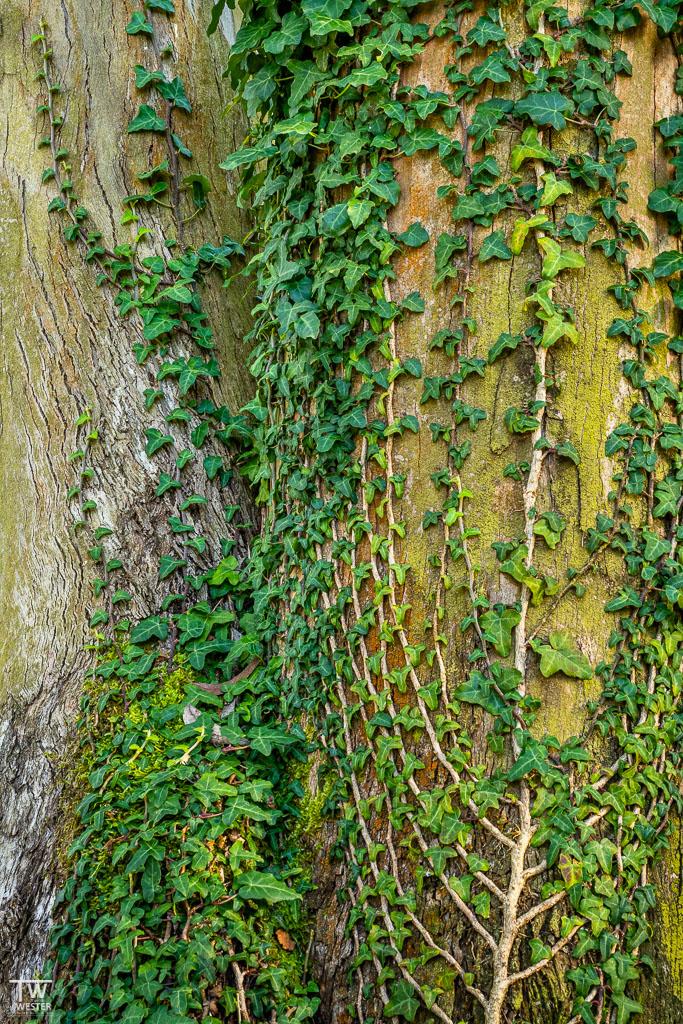 """Eine Detailaufnahme aus dem """"Urwald"""" – die Wurzeln des Efeus waren beachtlich (B1825)"""