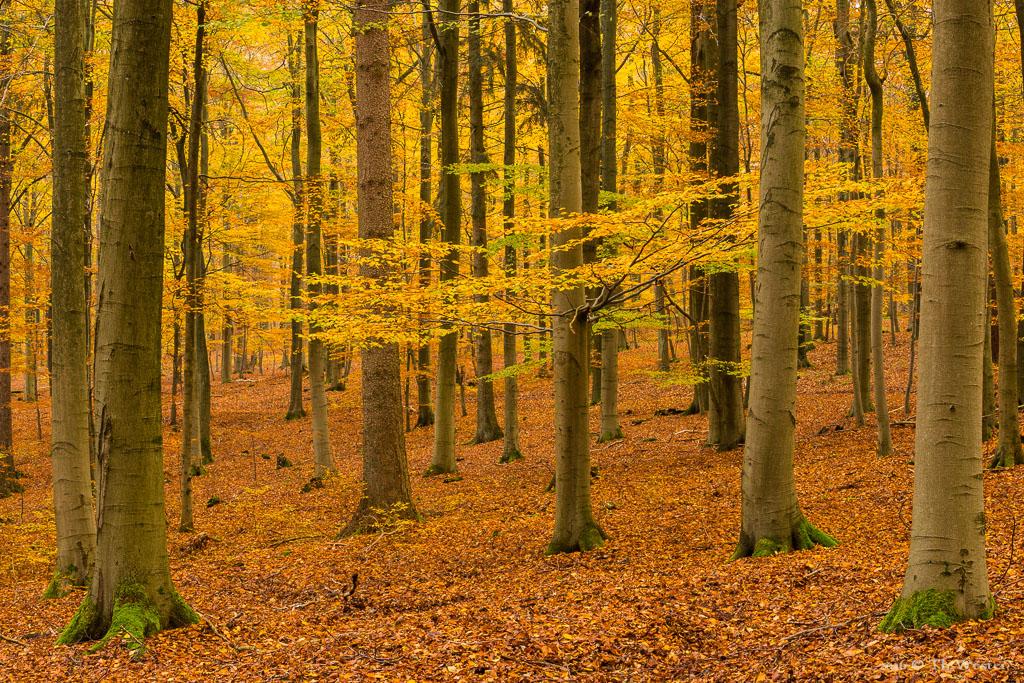Ein Buchenwald im Nationalpark Eifel (B762)