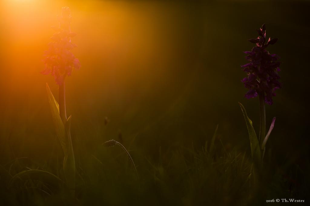 """Außerdem wachsen in der Nordeifel Orchideen, wie etwa das """"kleine Knabenkraut"""" (B522)"""