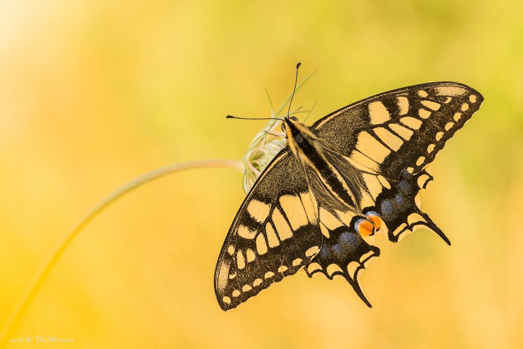 Schwalbenschwanz mit geöffneten Flügeln (B620)
