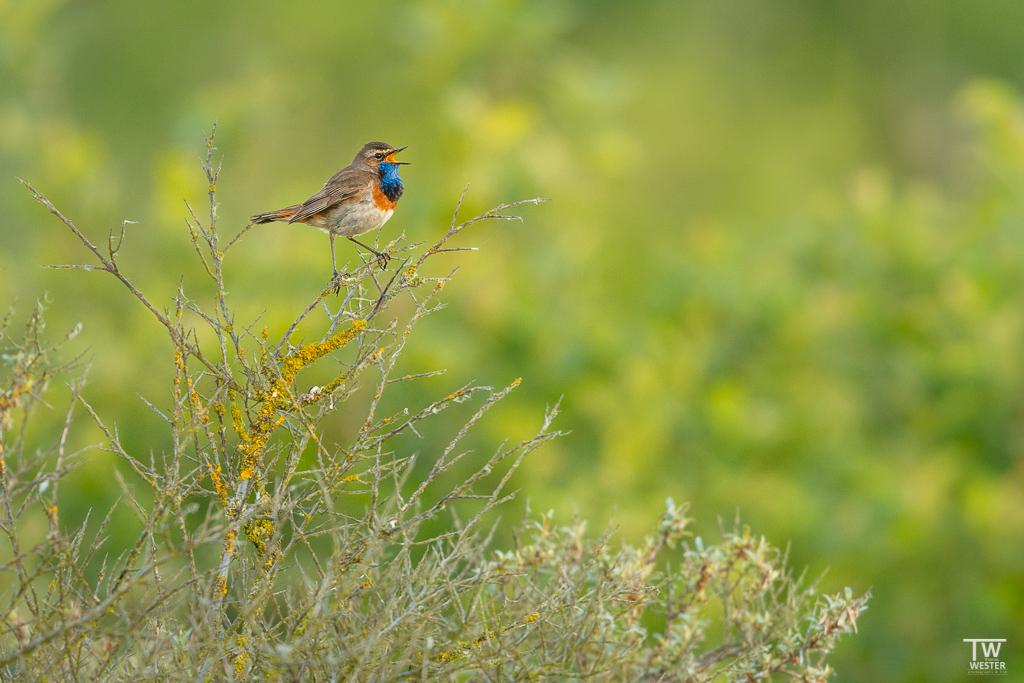 Auf Texel konnte man noch an einigen Stellen singende Blaukehlchen sehen (B1697)