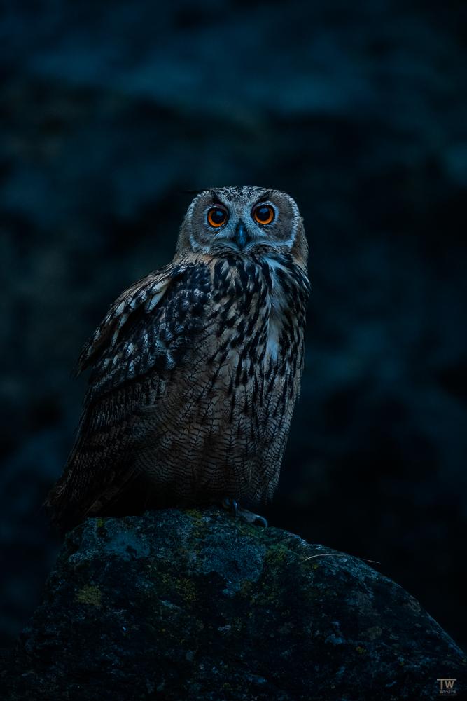 Die Augen wirken auch in der Dunkelheit absolut hypnotisch (B2711)