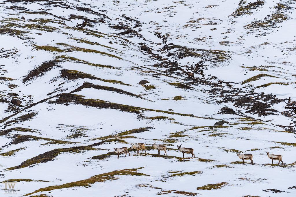 Auch ein paar Tiere konnte ich fotografieren: hier eine Gruppe von Rentieren (B928)
