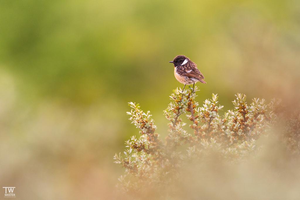 Diese kleinen Federknäuel (Schwarzkehlchen) wiegen gerade einmal 16 Gramm… (B1339)