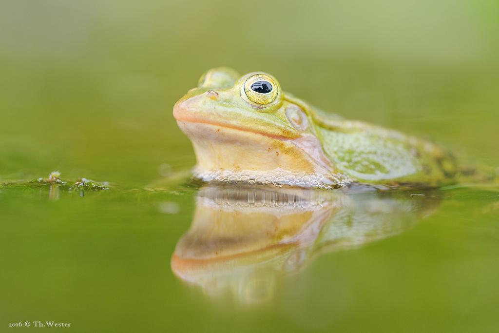Ein kleiner Wasserfrosch, groß abgebildet (B659)