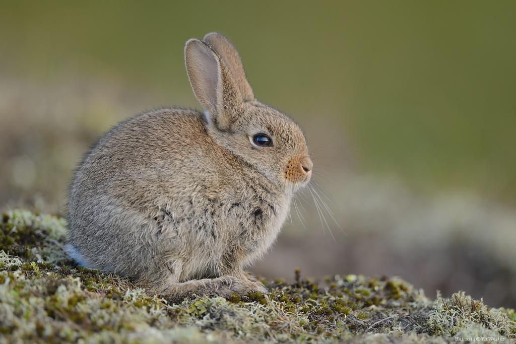 Kaninchen (B160)