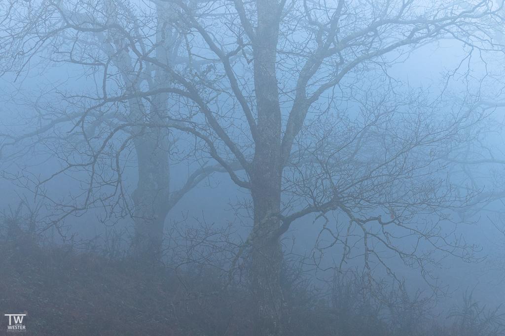 Auch in den Nebelwäldern des Pico gab es viele tolle Bäume (B1892)