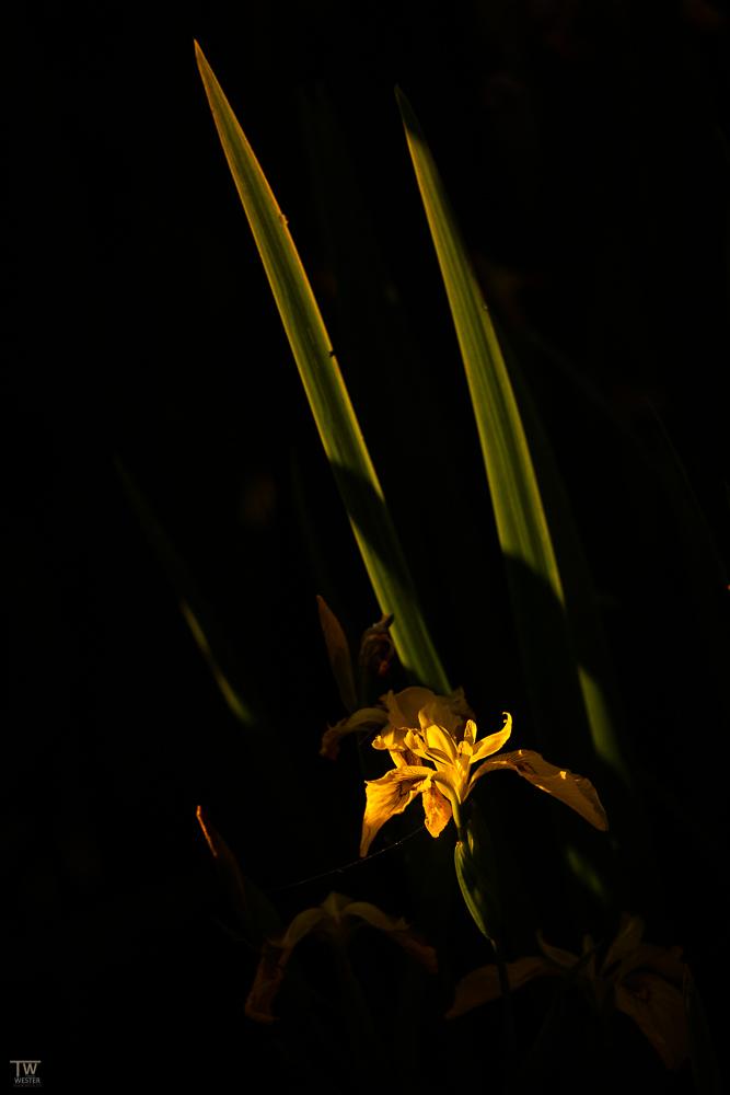 Das Lowkey einer Sumpfschwertlilie im Horspolders (B2609)